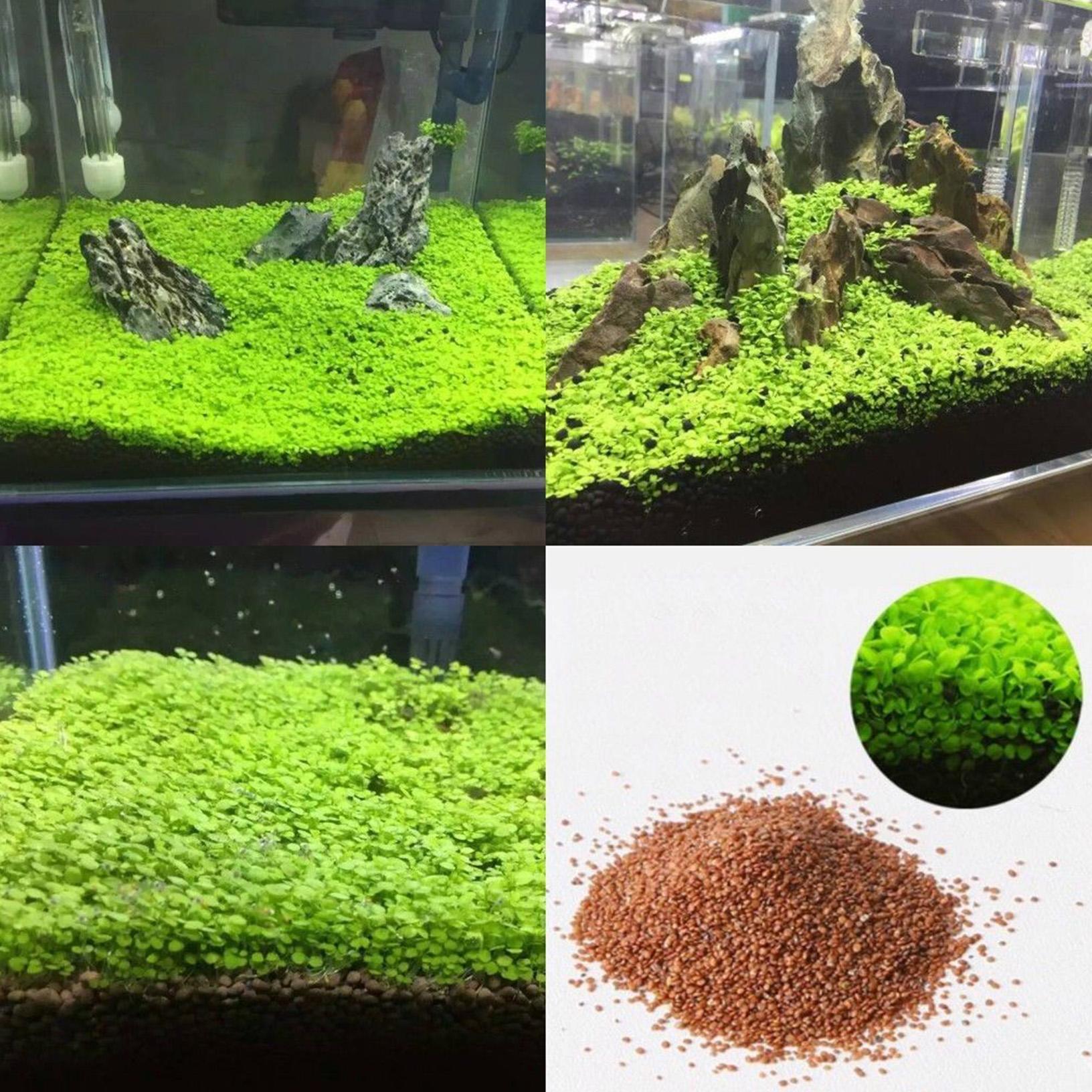 Semillas de plantas acuaticas para acuario o tanque de for Plantas de acuario