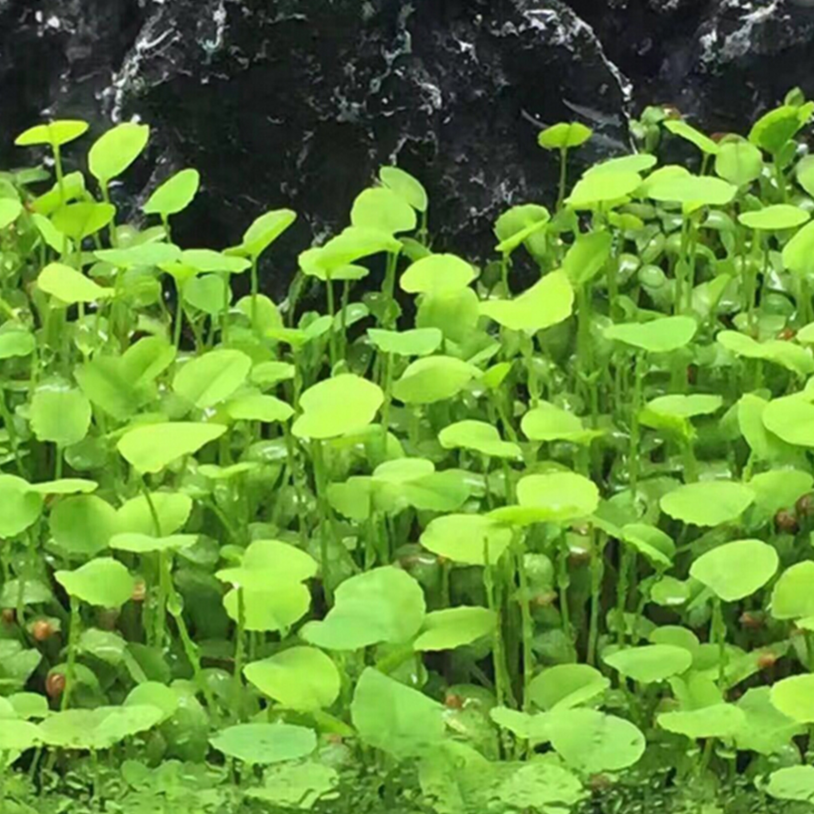 Aquarium plant seeds green grass plants fish tank for Growing plants with fish